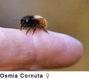 Bienen Im Mauerwerk