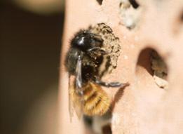 Hervorragend Info`s zu Wildbienen » Das Nest der Mauerbiene Der Linienbau der WN05